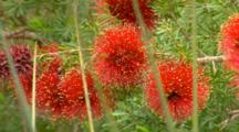 Bottlebrush Sp 2