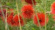 Bottlebrush Sp 3