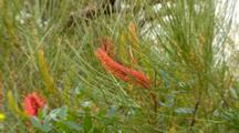 Grevillea Species 2