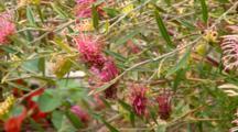 Grevillea Species 4