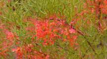 Diels' Grevillea Flowers