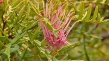 Wax Grevillea Flower 2