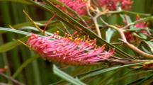 Grevillea, Fern-Leaf Spider Flower 01