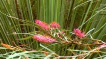 Grevillea, Fern-Leaf Spider Flower 02