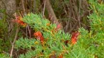 Collie Grevillea Flowers 01