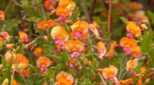 Holy Flame Pea Flowers