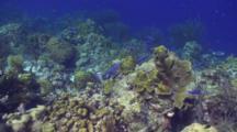 Blue Wrasse School Travel On Reef