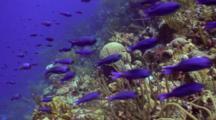 Blue Wrasse School Passing By Reef