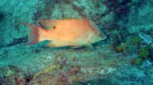 Follow Hogfish