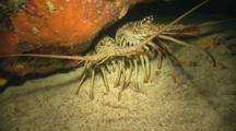 Lobsters Under Ledge