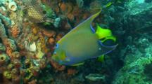 Queen Angelfish Feeing, Other Fishes