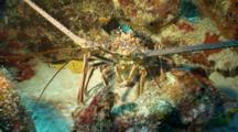 Spiny Lobster Hides
