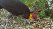 Australian Brush Turkey Feeding