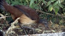 Female Albert's Lyrebird Feeding