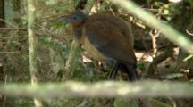 Female Albert's Lyrebird Perched