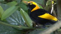 Male Regent Bowerbird Drinking