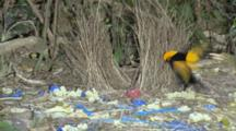 Male Regent Bowerbird Trashing Satin's Bowerbird Bower