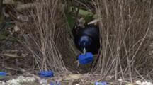 Male Satin Bowerbird Arranging Jewels On Bower