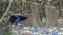 Male Satin Bowerbird Displaying At Bower