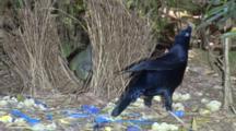 Satin Bowerbirds Mating