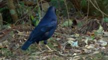 Male Satin Bowerbird Inspects Bower
