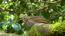 Female Regent Bowerbird Perched