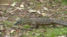 Lace Monitor Walking To Bush