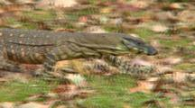 Lace Monitor Walking In Bush