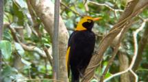 Male Regent Bowerbird Perched