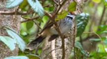 Rufous Fantail Perched