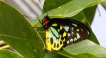 Cairns Birdwing Male 2