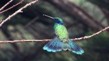 Hummingbird Sparkling Violetear Perched Tail Wide Open