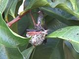 Hummingbird Glittering-Throated Emerald Arrives To Nest And Feeds, Wide Angle Shot