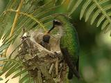 Hummingbird Green-Tailed Emerald Arrives To Nest And Feeds, Wide Shot