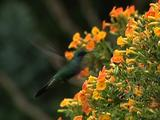 Hummingbird Sparkling Violetear Feeding On Yellow Flower