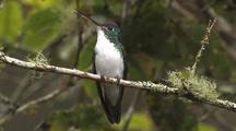 Hummingbird Andean Emerald Perched, Wide Shot