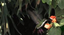 Hummingbird Black-Throated Mango Female Feeds On Flowers