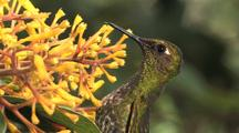 Hummingbird Buff-Tailed Coronet On Yellow Flowers