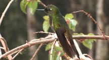 Hummingbird Buff-Tailed Coronet Perched
