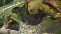 Hummingbird Copper-Rumped Hummingbird Nest,  Chick Exercising  Wings