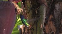 Hummingbird Golden-Tailed Sapphire Feeds On Banana Flowers 1