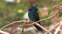 Hummingbird Green Violetear Perched, Ears Display