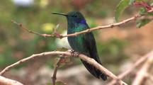 Hummingbird Green Violetear Perched, Zoom