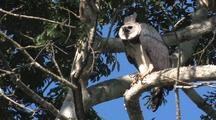 Harpy Eagle Male Perched And Calling, Female  Answers Wide Shot