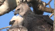 Harpy Eagle Female On Nest With Chick, Side By Side