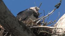 Harpy Eagle Female Female On Nest, Calling, Close Up