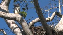 Harpy Eagle Female Perched On The Side Of The Nest, Ultrawide Shot, Calling