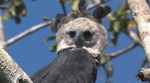 Harpy Eagle Female Perched,   Fiercy Look, Close Up