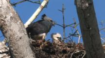 Harpy Eagle, Mother And Chick In Nest, Wide