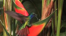 Hummingbird Lazuline Sabrewing Drinking In A Red Heliconia